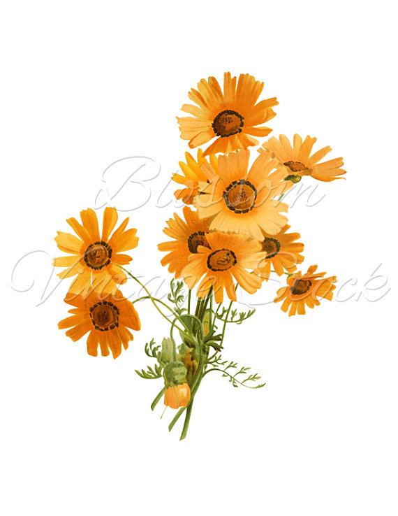 Daisy clipart botanical illustration #2