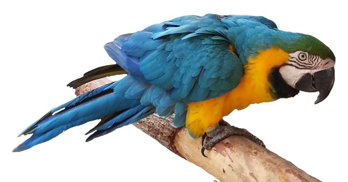 Brds clipart parrot Orange parrot blue on branch