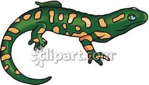 Newt clipart salamander #6