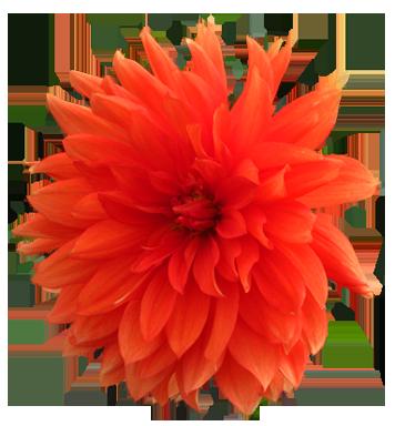 Orange Flower clipart transparent Art Gallery Image purple Flower