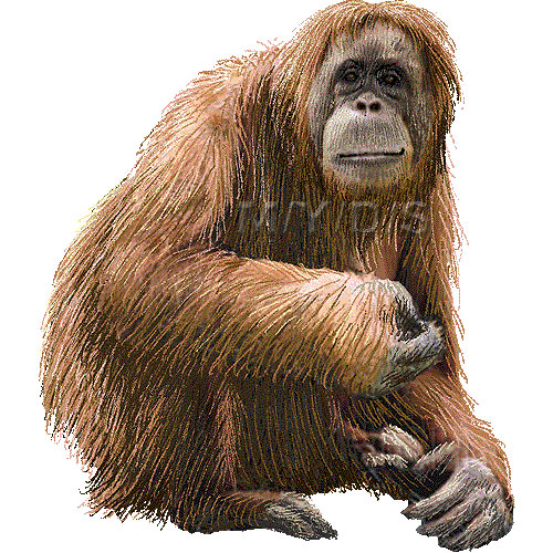 Orangutan clipart Clip Orangutan picture clipart /