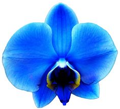 Orchid clipart orchid flower WallpaperSafari Orchid Pinterest ClipartFest Blue