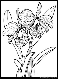 Orchid clipart transparent Color black and  Odontoglossum
