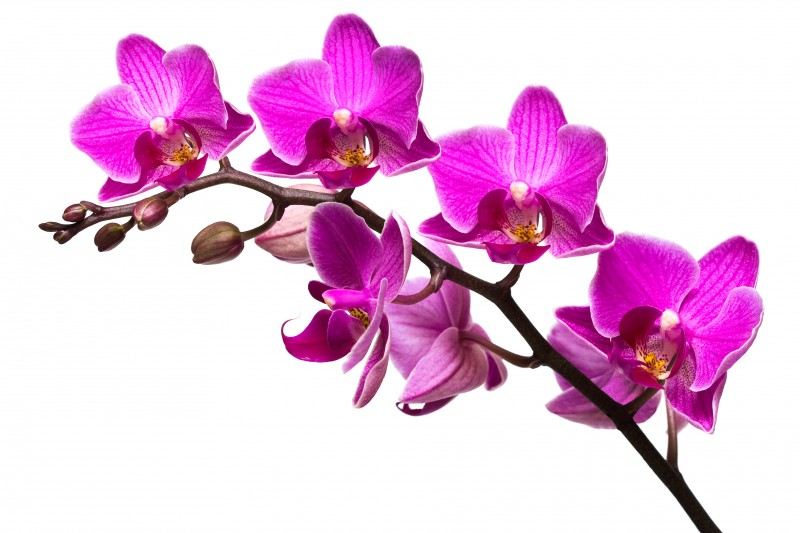 Orchid clipart orchid flower Flower Orchid Flower Clipart Clipart