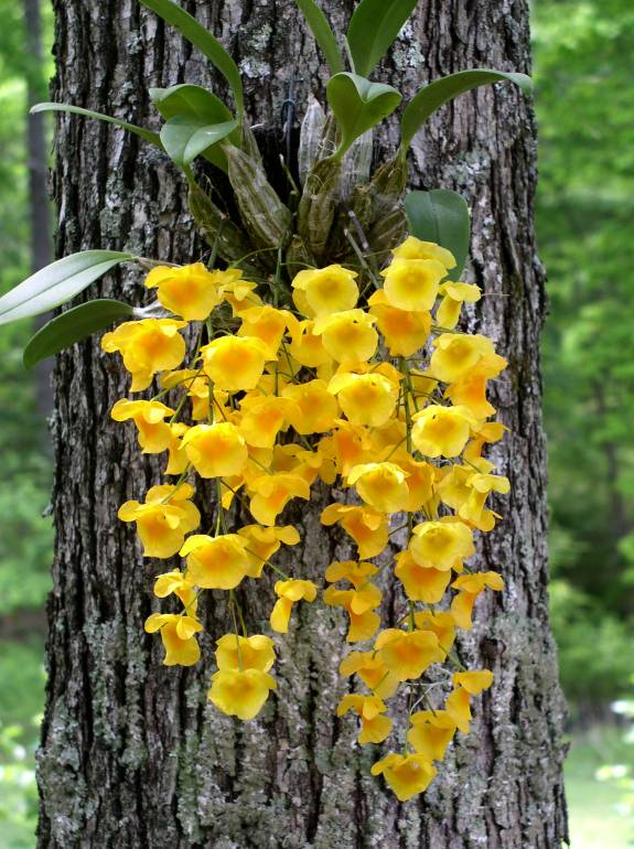 Orchid clipart tree trunk Orchids epiphytic Orchid Search and