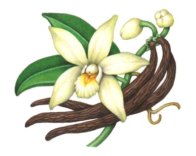Orchid clipart vanilla bean Herbs Illustrations on this Douglas