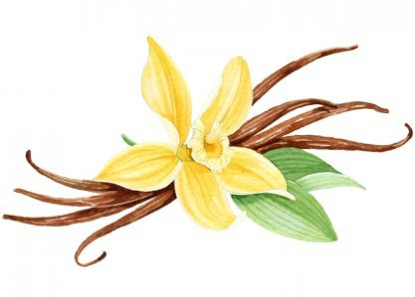 Orchid clipart vanilla bean For watercolor vanilla orchid palmolive