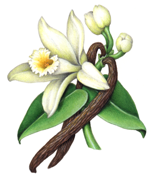 Orchid clipart vanilla bean And vanilla and flower beans