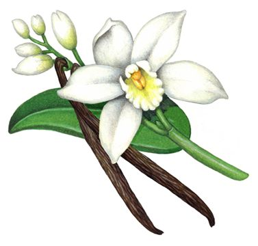 Orchid clipart vanilla bean About and five plant Pinterest
