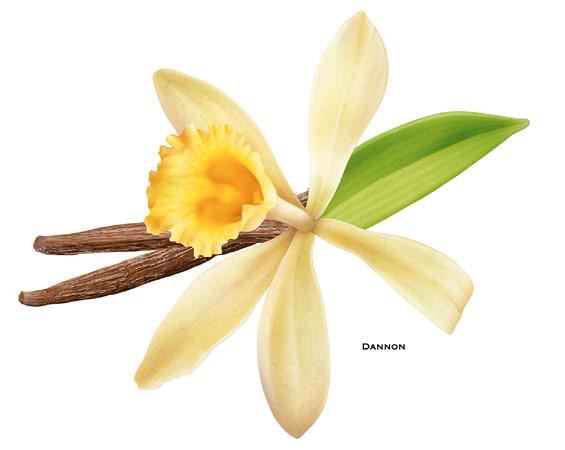 Orchid clipart vanilla bean It bean The ·