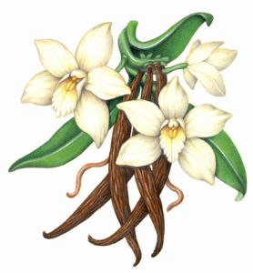 Orchid clipart orchid flower Planifolia orchids the grown from