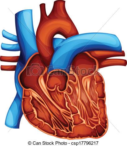 Organs clipart actual heart Section Cross Vector heart of