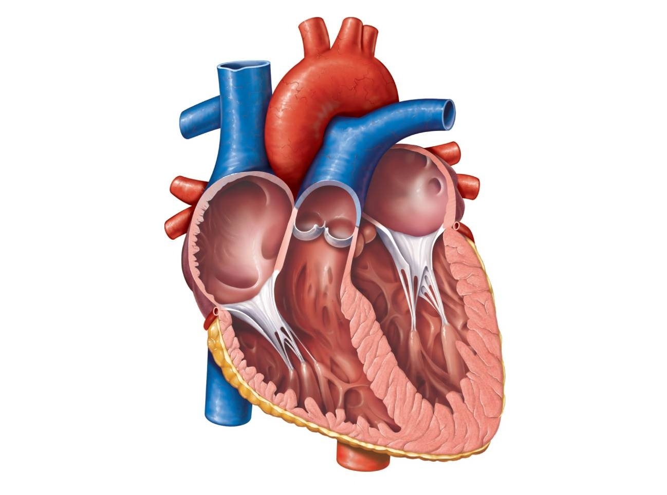 Anatomy clipart anatomical heart Best Diagram Of Heart Anatomical