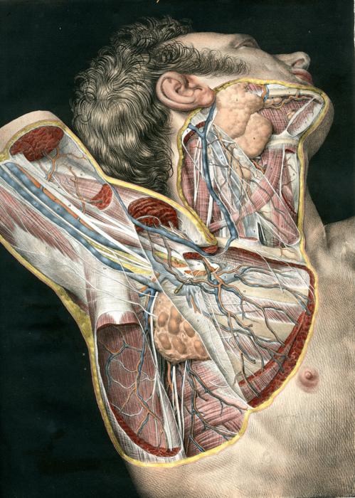 Organs clipart antique  Art: human Graphic Images:
