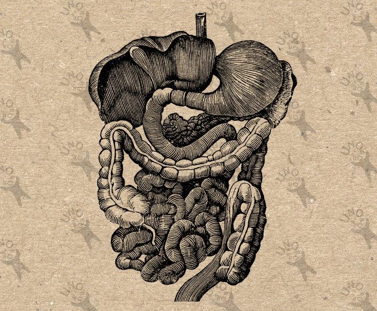 Organs clipart antique Black clipart Retro Digestive Antique