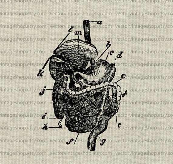 Organs clipart antique Clipart science medical human human