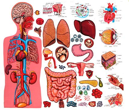 Organs clipart body system Anatomy Materials Bodies Study Study