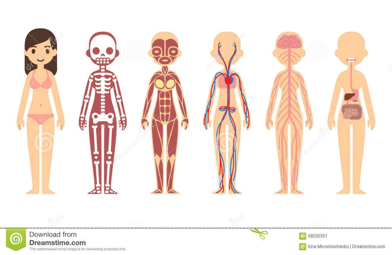 Organs clipart body system Organ Anatomy  Systems The