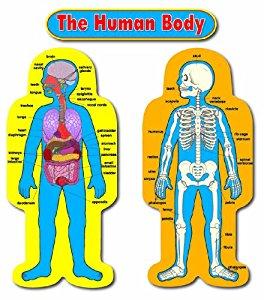 Organs clipart child body Child Amazon Carson Set Bulletin