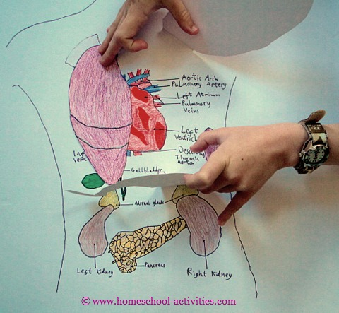 Organs clipart child body With organs Human body Pinterest
