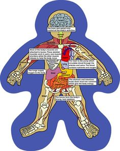 Organs clipart child body The getting to Anatomy Human