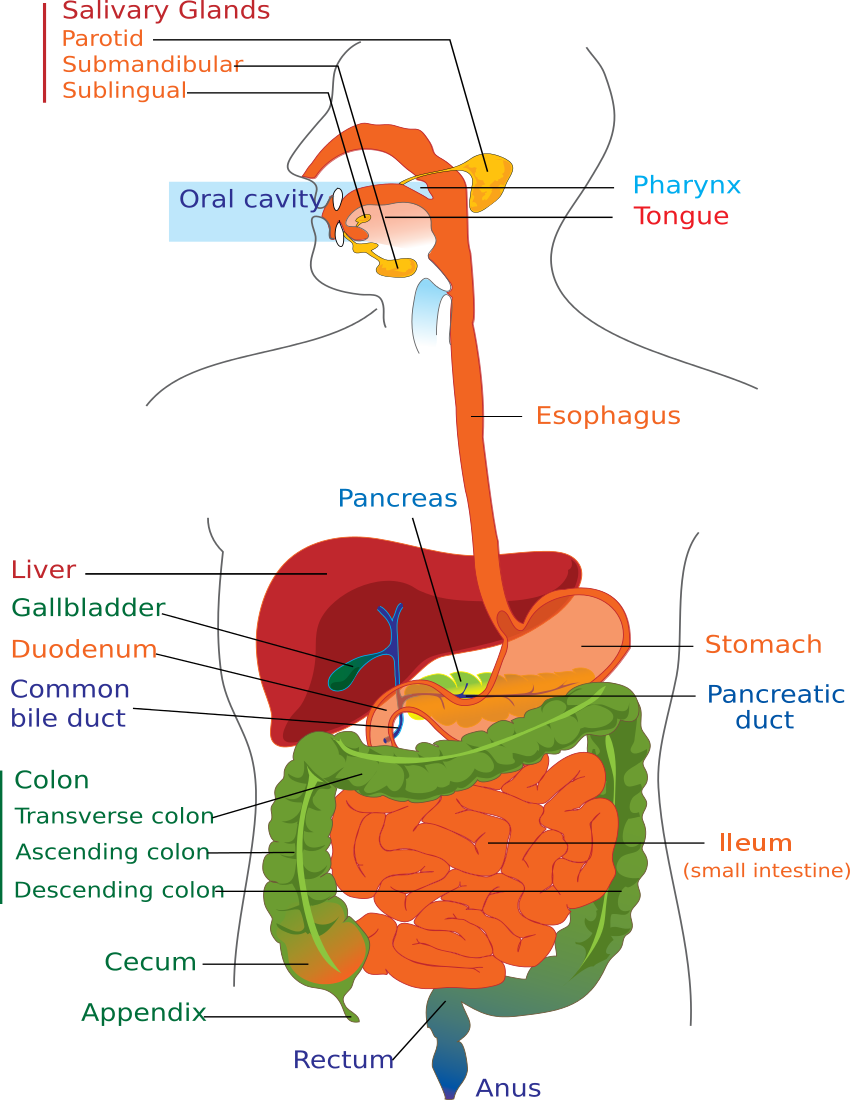Organs clipart vector Diagram Download Art Digestive Page