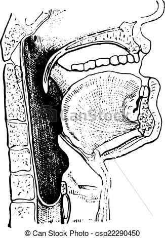 Organs clipart engraving Pharynx vintage Vector csp22290450 engraving