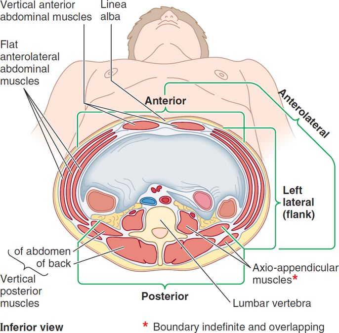 Organs clipart health science Health Of Abdominal ab_wall_layers at