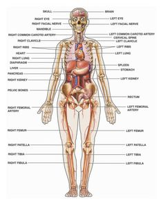 Bones clipart anatomy and physiology Physiology And  And human