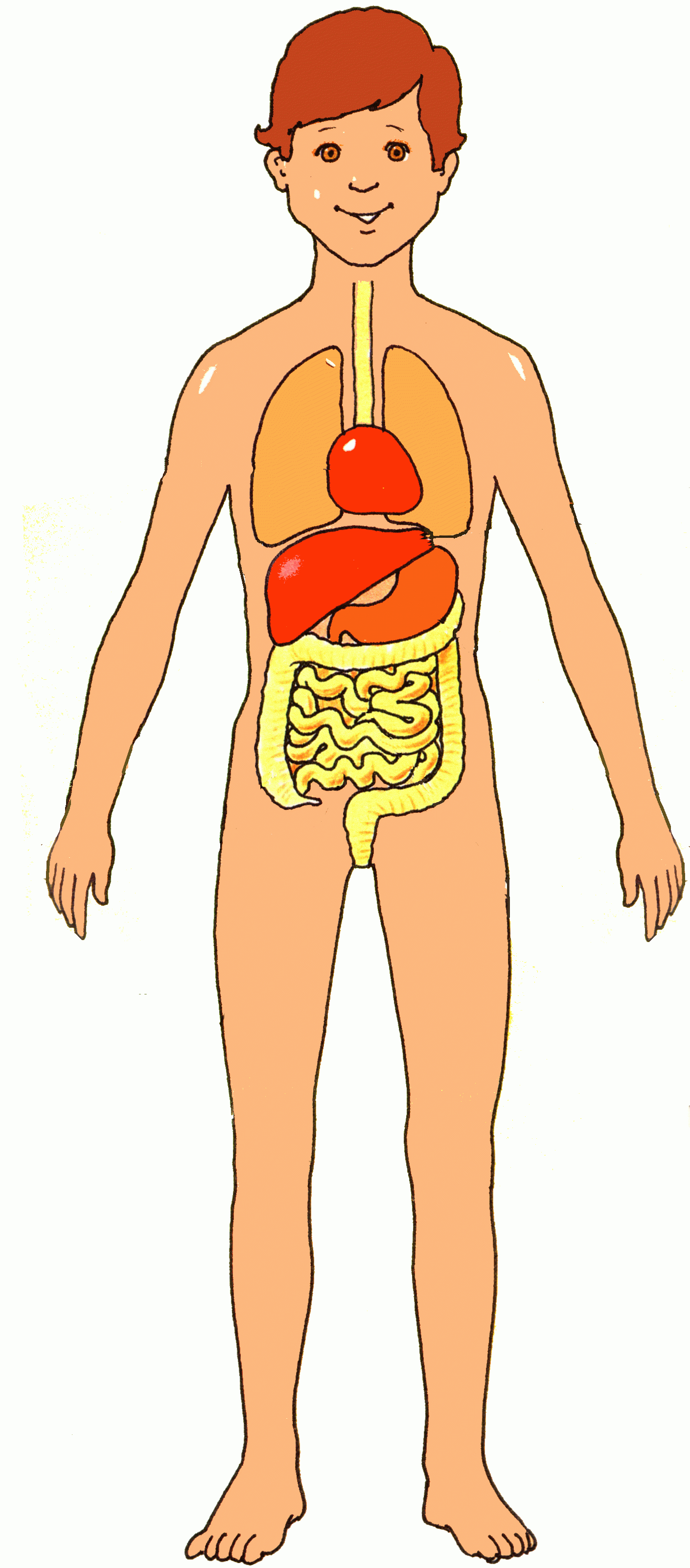 Organs clipart vector Body – Body With Internal