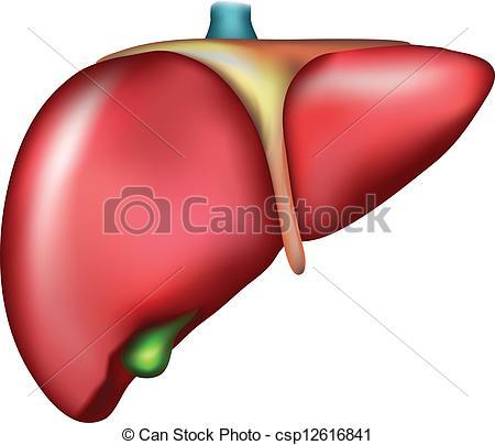 Organs clipart human liver Clipart Human Human Liver Download