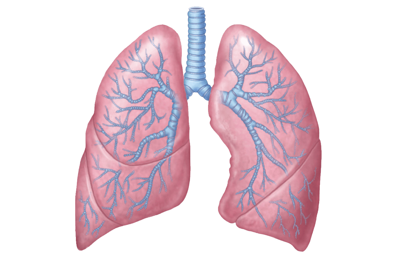 Organs clipart lung Lungs Rose Illustration transparent PNG