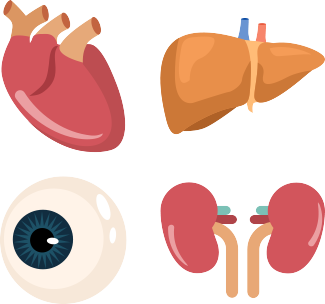 Organs clipart organ transplant Skin as can heart and