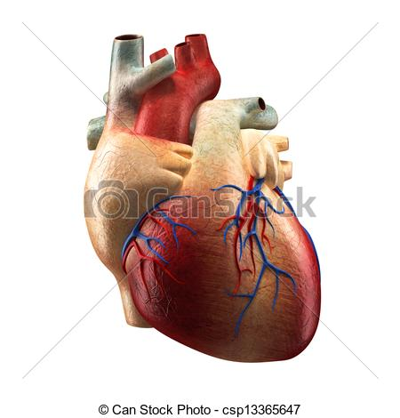 Organs clipart real heart Heart Anatomy  Heart Real