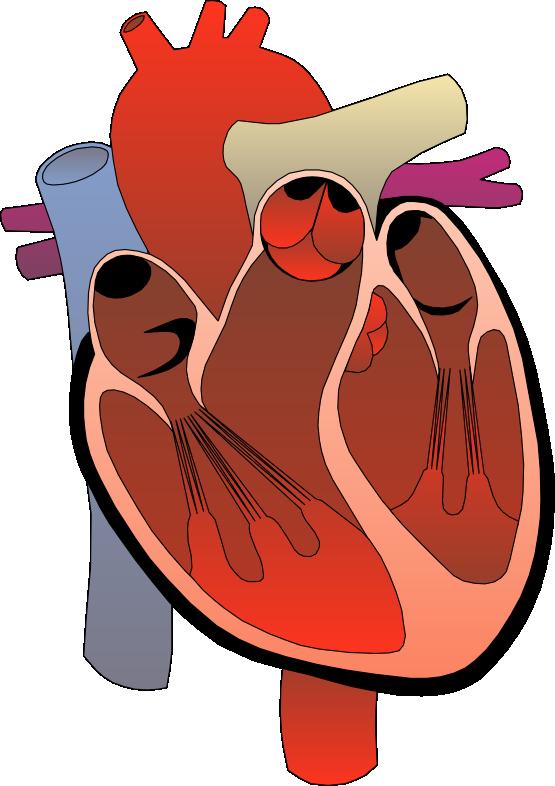 Anatomy clipart anatomical heart Heart ClipartBarn Clipart Human free