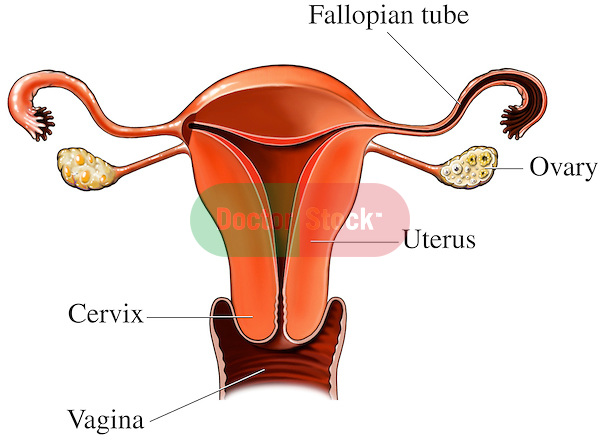 Womb clipart female reproductive system The from Stock reproductive Organs