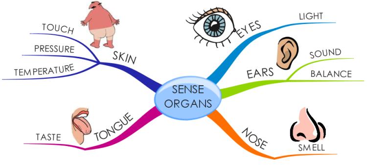 Organs clipart sence çolak  derya Sense Organs