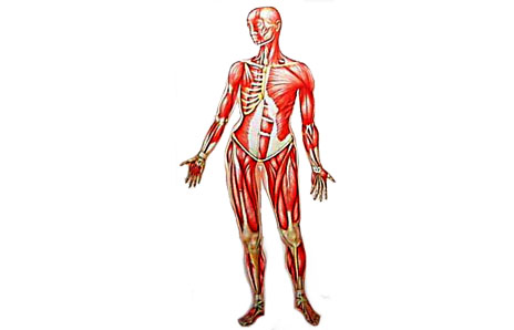 Organs clipart skeleton body Body Clipart Clipart Images Panda