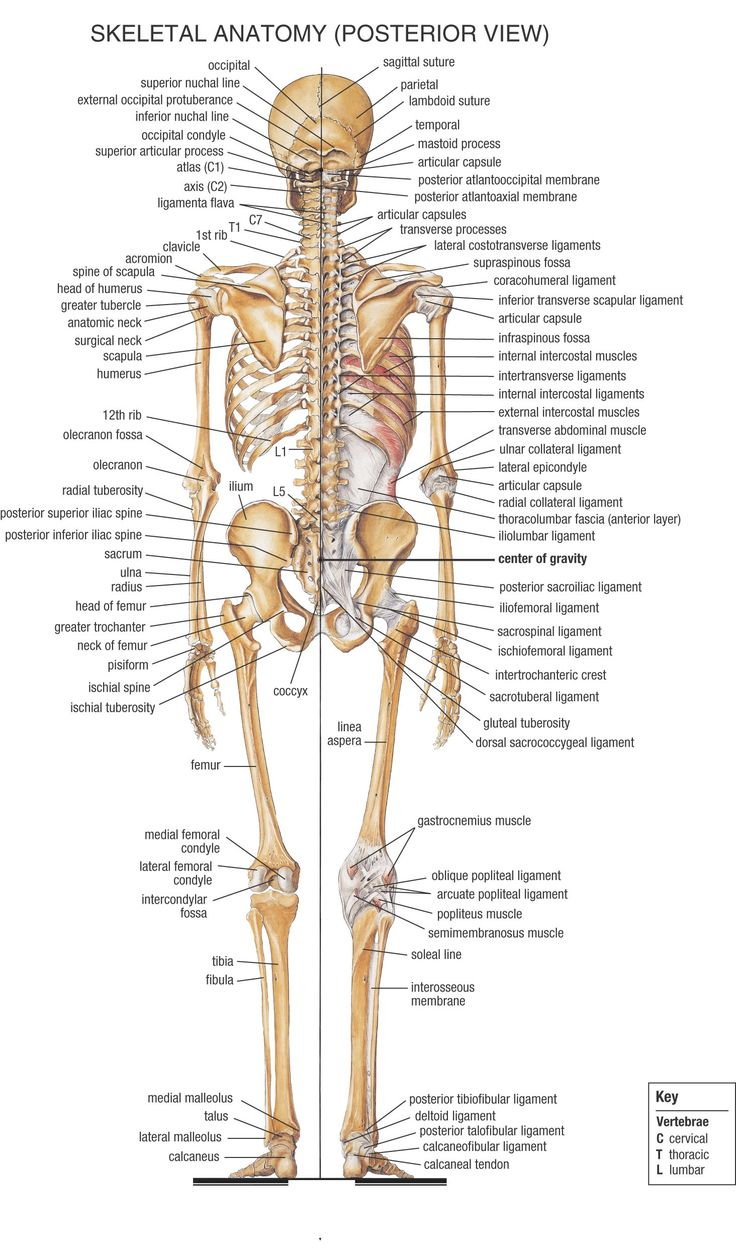 Bones clipart anatomy and physiology Will body the 20+ you