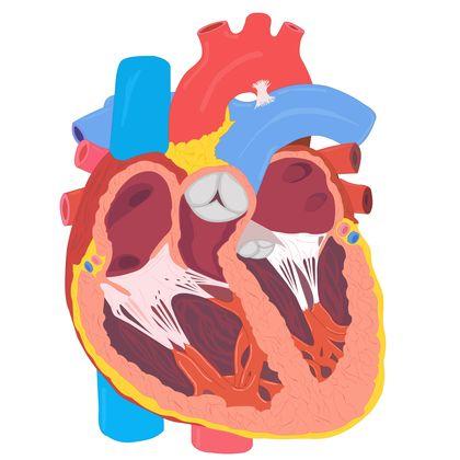 Organs clipart system biology Organs animal Systems Circulatory 3870