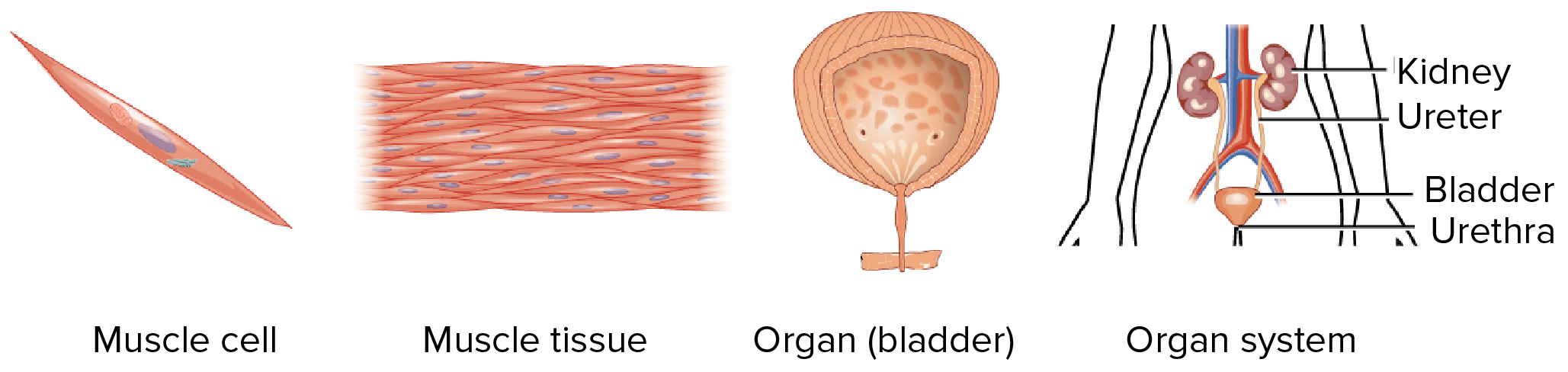 Organs clipart system biology Forming muscle cells Academy and