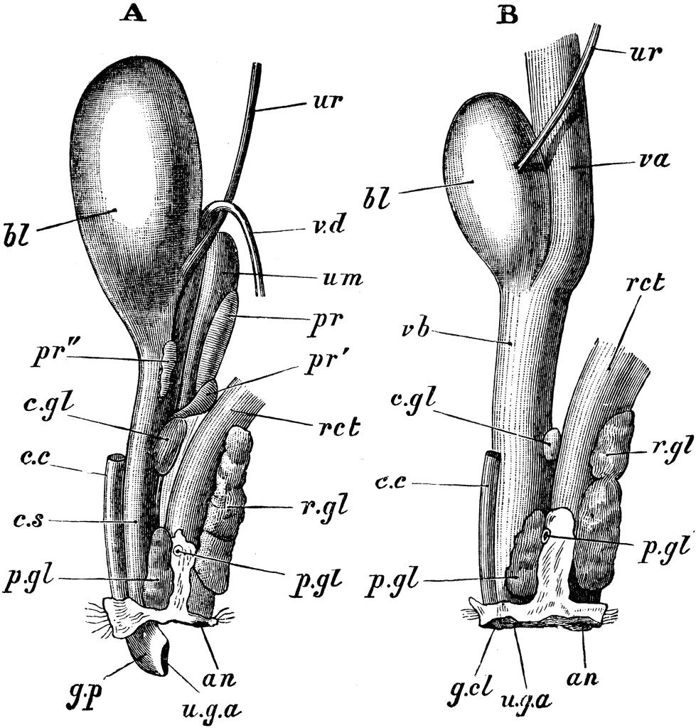 Organs clipart system biology Female Clipart Organs Reproductive Rabbit