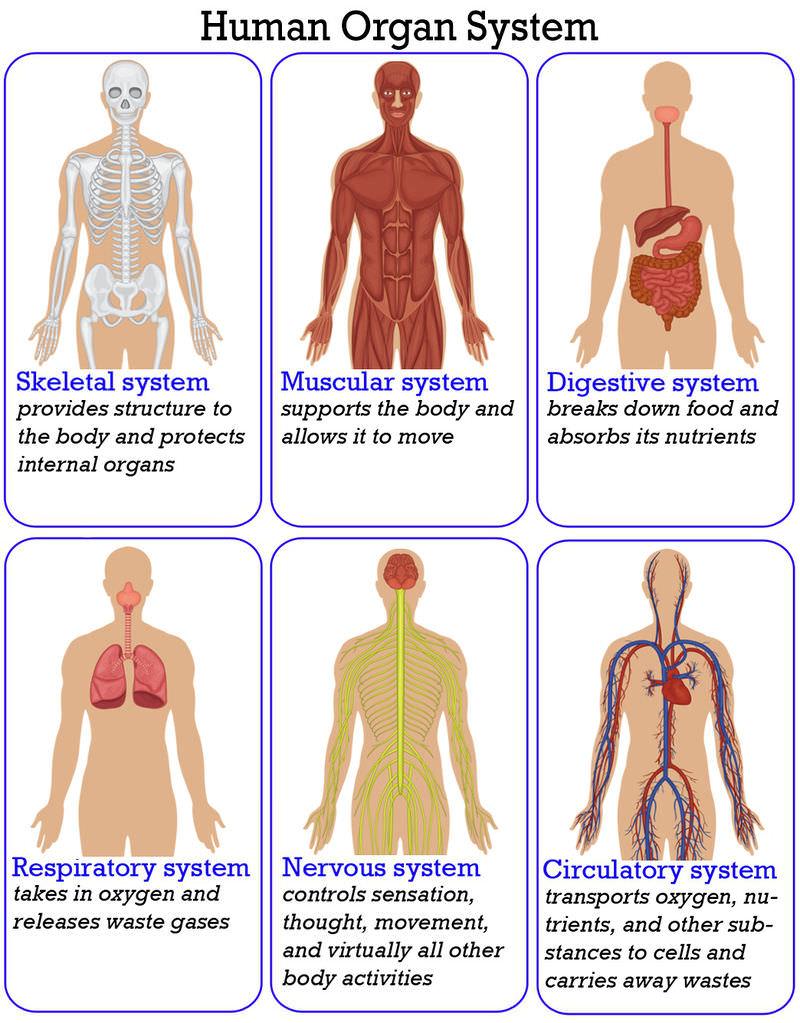 Organs clipart system biology Body Read the CK Biology