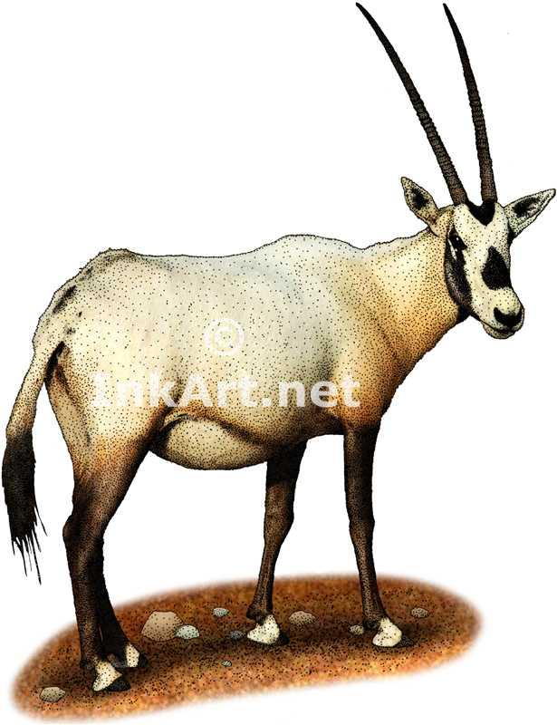 Oryx clipart arabian oryx Stock Arabian stock Oryx illustration