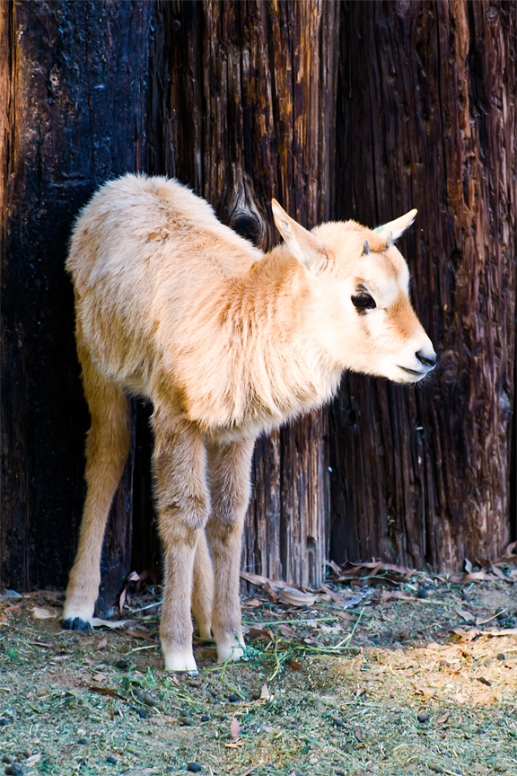 Oryx clipart arabian oryx 'Arabian the and These &