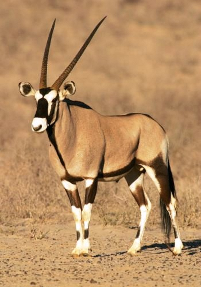 Oryx clipart cartoon Animal is saw national known
