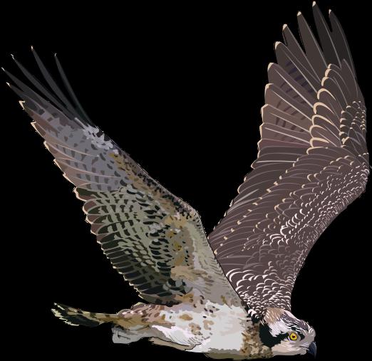 Osprey clipart Clip Free Art  Osprey