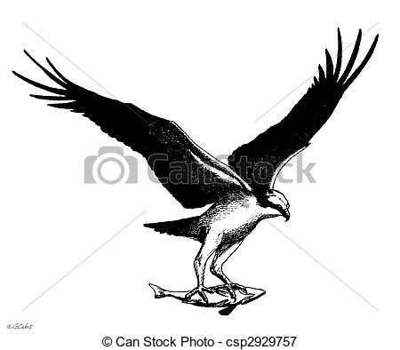 Osprey clipart Haliaetus Pandion Illustrations with csp2929757