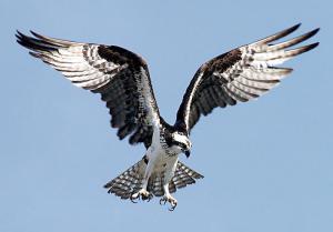 Osprey clipart Download Osprey In Clip Osprey