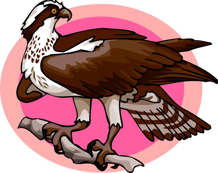 Osprey clipart Free on Osprey Osprey Perch